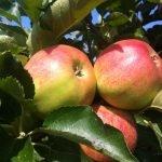 biofrucht-senst-aepfel-2