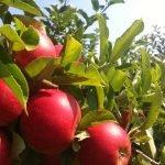 biofrucht-senst-aepfel-3