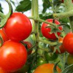 Biohof-Grottewitz-tomaten